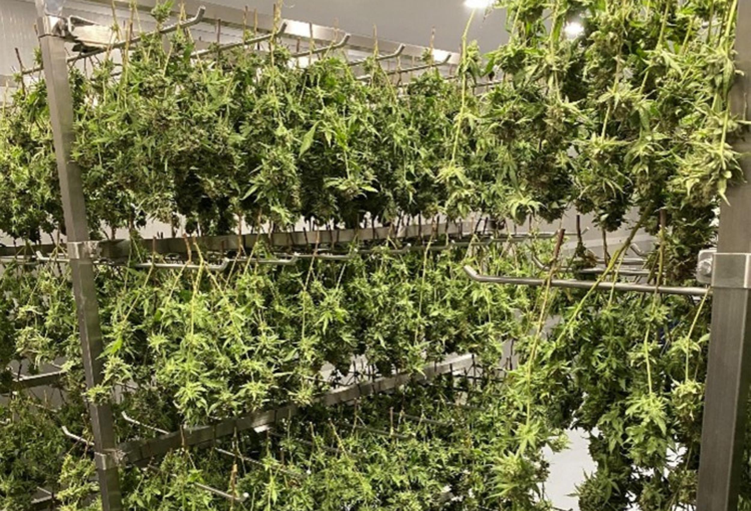 Navaya's first major cannabis harvest